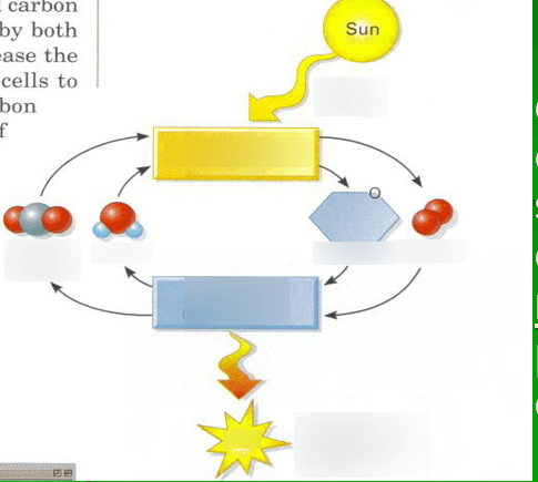 photosynthesis and cellular respiration cycle diagram home computer network quizlet location