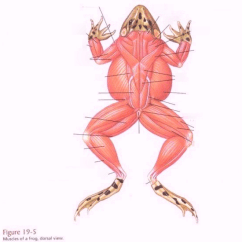 Muscle Diagram Dorsal Tachometer Install Fox Body Biology Ii Frog Muscles Quizlet Location