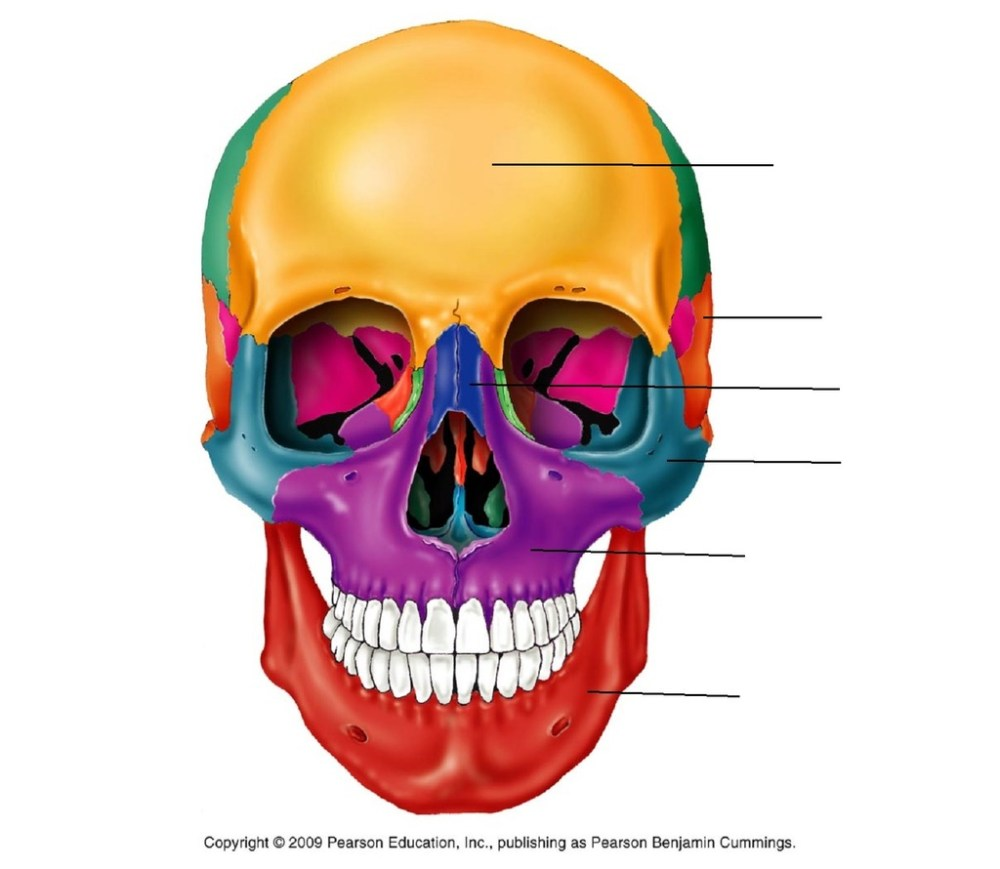 medium resolution of terms in this set 8 frontal cranial bone