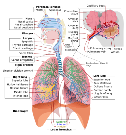 small resolution of respiratory system diagram quizlet rh quizlet com respiratory system diagram heart diagram