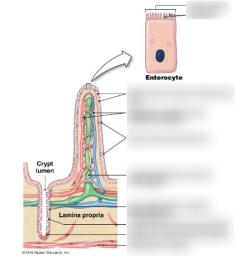intestine cell diagram [ 887 x 1024 Pixel ]