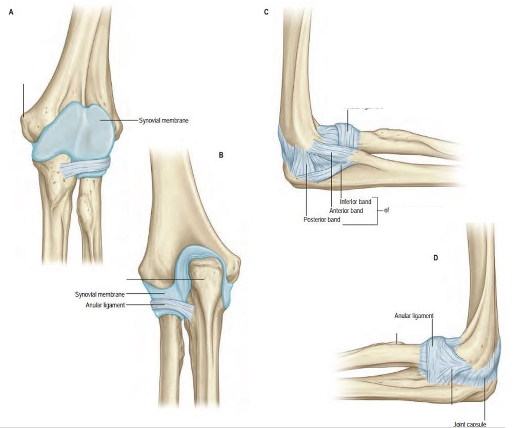 hight resolution of diagram of elbow
