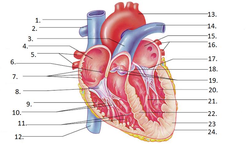 heart diagram inside palmistry marriage line left quizlet location