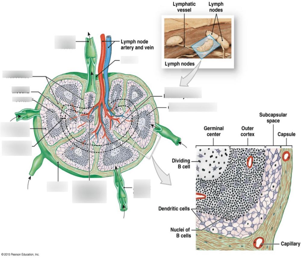 medium resolution of lymph node diagram
