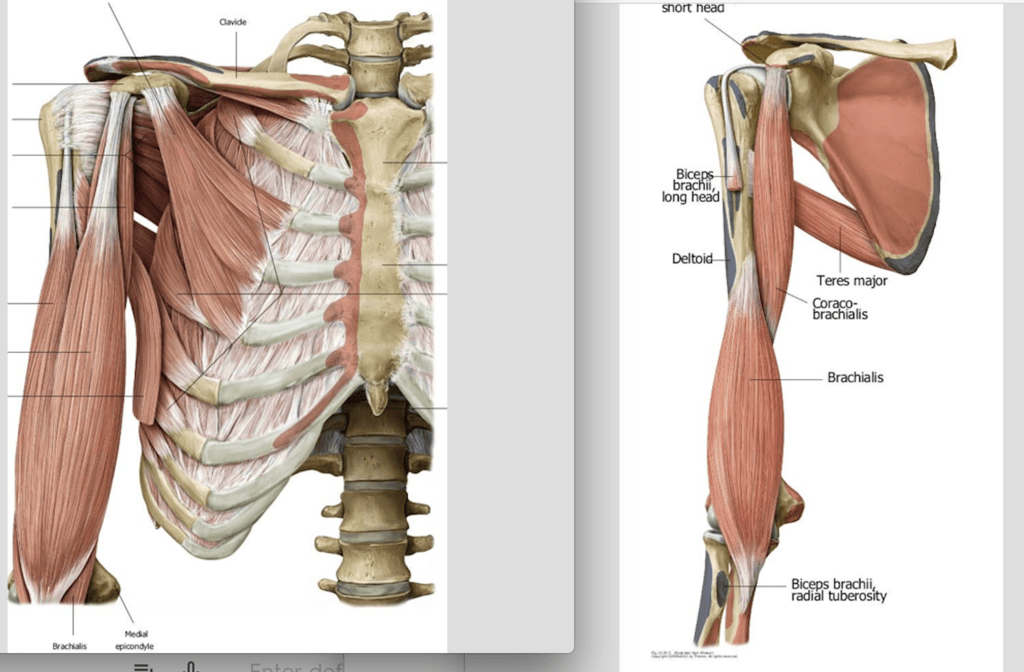 upper arm muscles diagram rotork wiring iq3 ant quizlet location