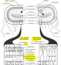 diagram of flagella [ 806 x 1024 Pixel ]