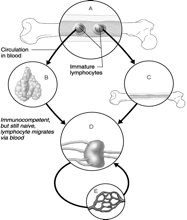 Ch. 20 & Ch. 21 [Lymphatic System and Immune System