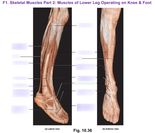 small resolution of muscles of the lower leg operating upon the knee foot cadaver diagram diagram quizlet