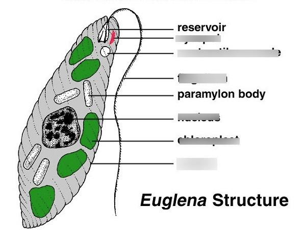 euglena diagram blank truck camper wiring basic all dataeuglena quizlet simple
