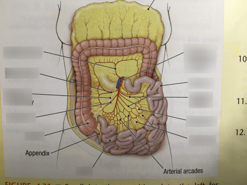 small resolution of terms in this set 10 superior mesenteric artery