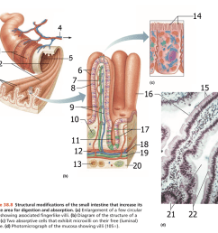 11 structural modifications of the small intestine that increase its surface area for digestion and absorption [ 1024 x 877 Pixel ]