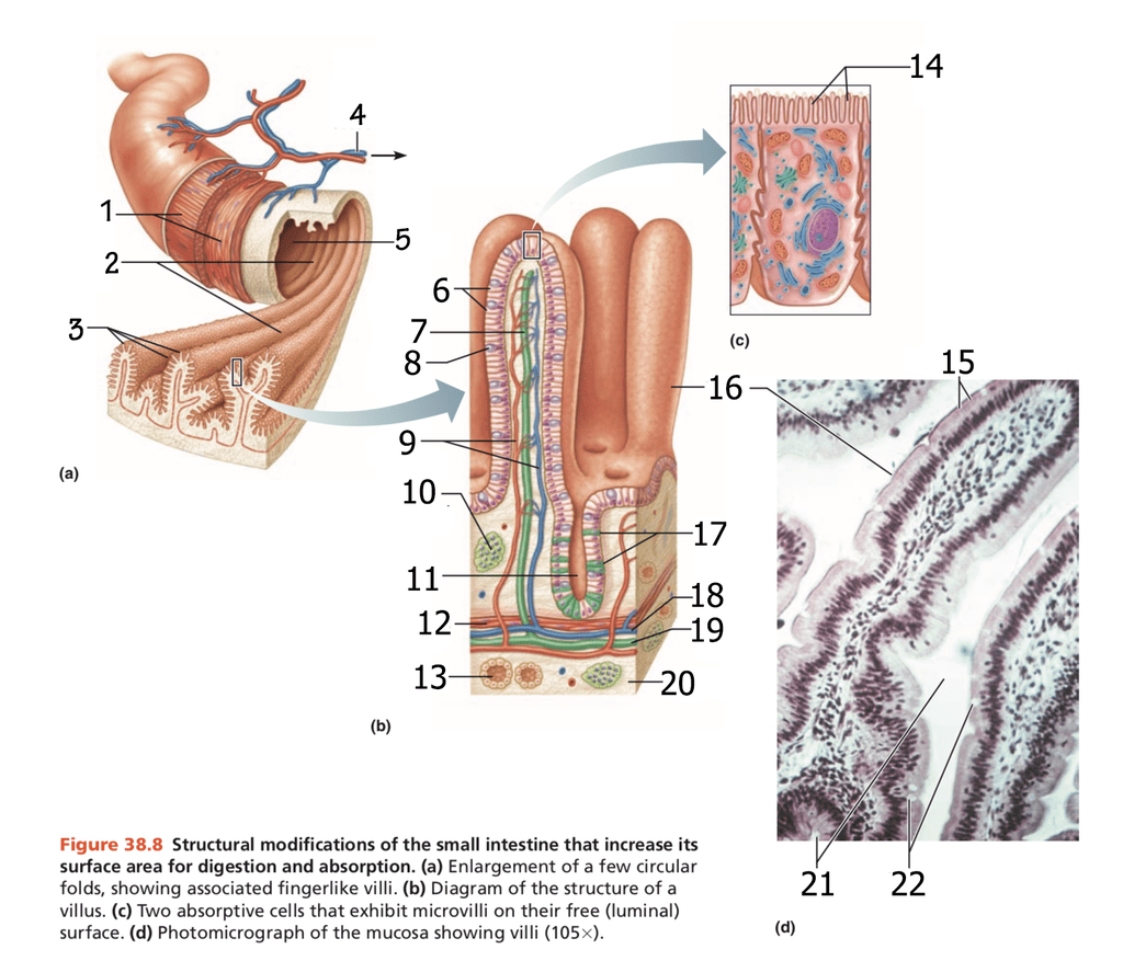 hight resolution of 11 structural modifications of the small intestine that increase its surface area for digestion and absorption