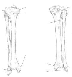 bone tibia and fibula right anterior and posterior view [ 1024 x 967 Pixel ]