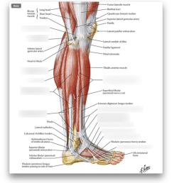 ankle tendon diagram [ 922 x 1024 Pixel ]