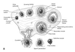 Ovary Follicle Development Diagram Human Ovary Diagram