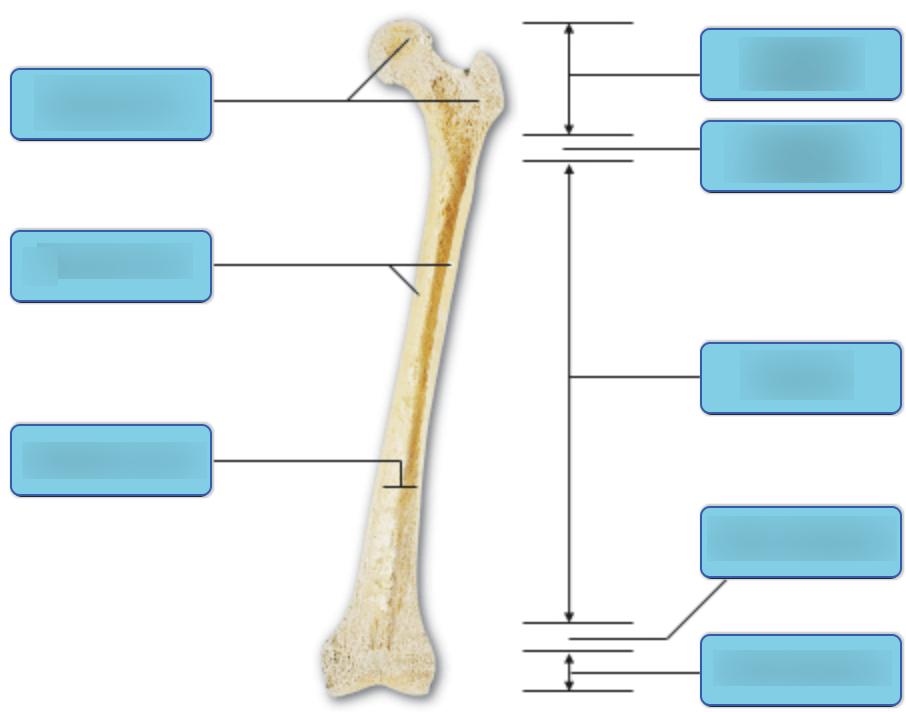 Figure 1 bone terminology diagram br anatomy longbone. Long Bone Structure Diagram Labeled / Seer Training ...