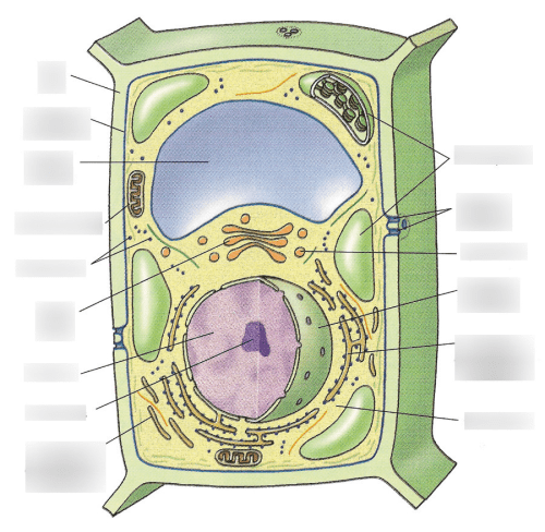 small resolution of a plant cell diagram