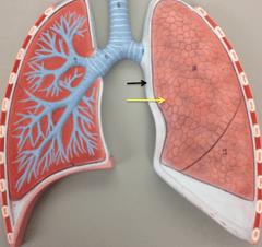 Lung Model  Diagram Flashcards | Quizlet