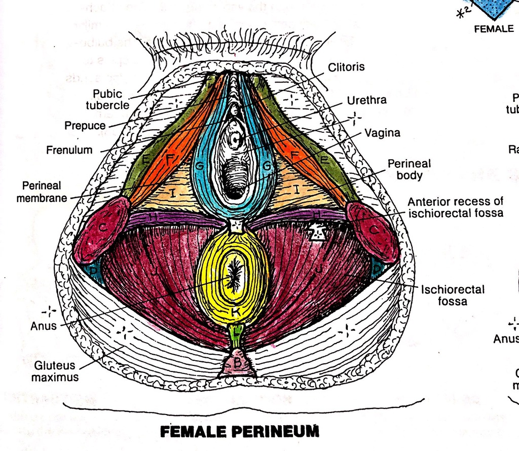 hight resolution of muscles of the perineum exam 3