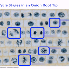 Onion Root Tip Diagram 1964 Ford Fairlane 500 Wiring Cell Cycle Stages In An Quizlet Location