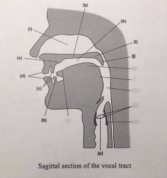 sagittal section of the vocal tract diagram quizlet vocal mechanism anatomy vocal tract diagram [ 878 x 1024 Pixel ]