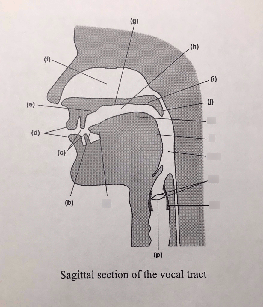 medium resolution of sagittal section of the vocal tract diagram quizlet vocal mechanism anatomy vocal tract diagram
