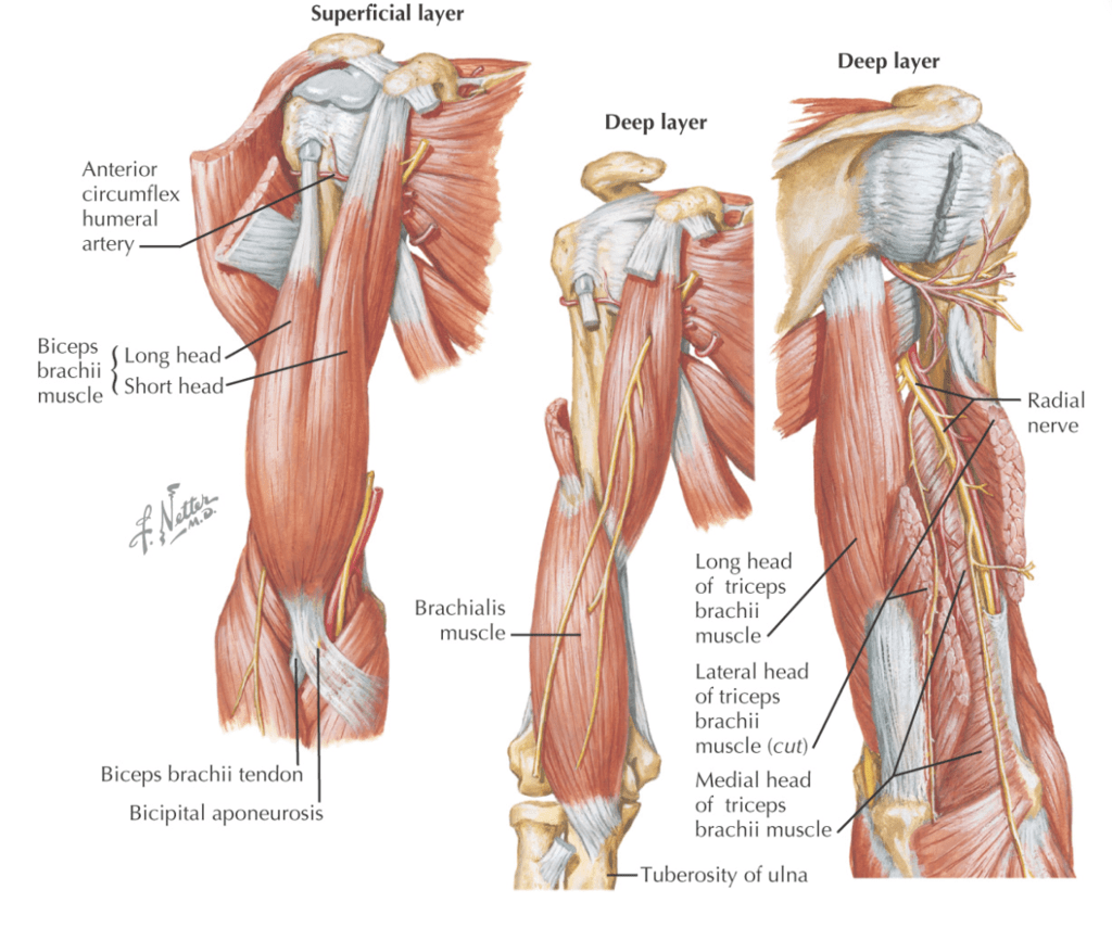 hight resolution of arm tendon diagram