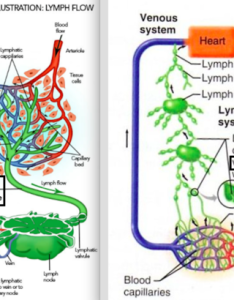 And valves formed by the vessel endothelium insure one way flow lymphatic vessels are straddled lymph nodes located at intervals along their course also immune system histology thymus malt spleen rh quizlet