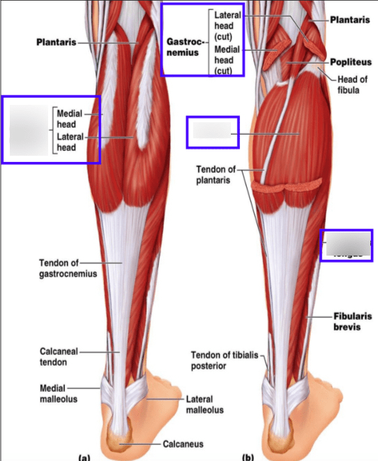 Lower Back And Leg Muscle Diagram : lower, muscle, diagram, Lower, Muscles, Diagram, Quizlet