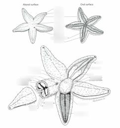 sea star aboral diagram [ 1024 x 905 Pixel ]