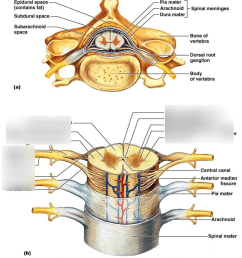 spinal cord 2 [ 870 x 1013 Pixel ]