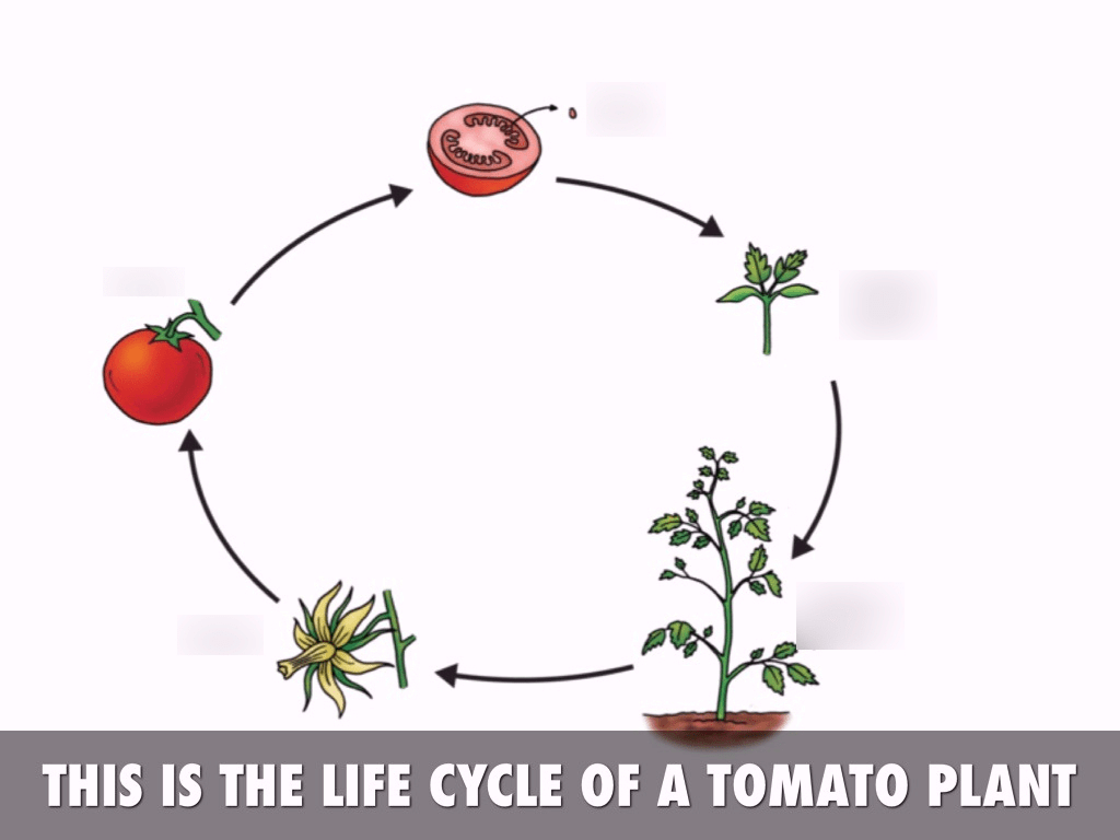 hight resolution of tomato life cycle