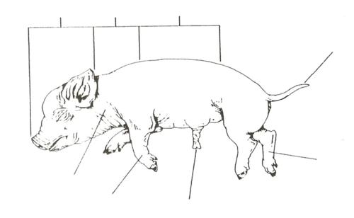 Fetal Pig Diagram Labeled