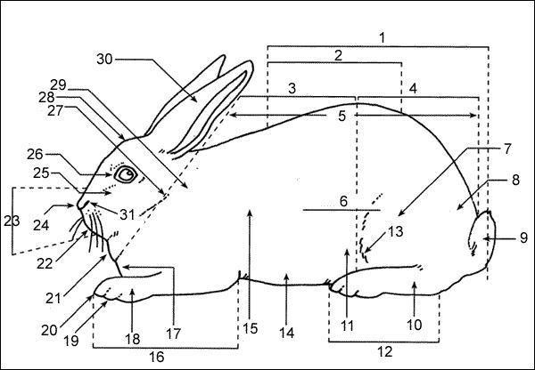 Rabbit Body Parts Diagram / Body Parts Rabbit Vector