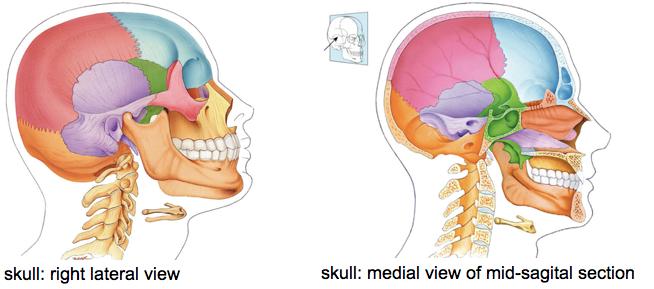 axial skeleton skull diagram ford ranger wiring 2008 quizlet location