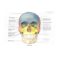 Axial Skeleton Skull Diagram 2004 Hyundai Sonata Engine Lab 3 Quizlet Location