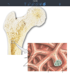terms in this set 4 trabeculae of spongy bone  [ 1024 x 768 Pixel ]