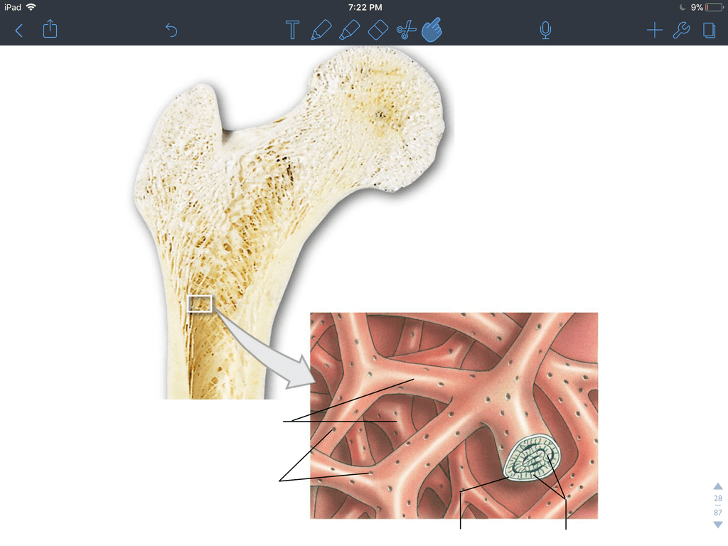 hight resolution of terms in this set 4 trabeculae of spongy bone
