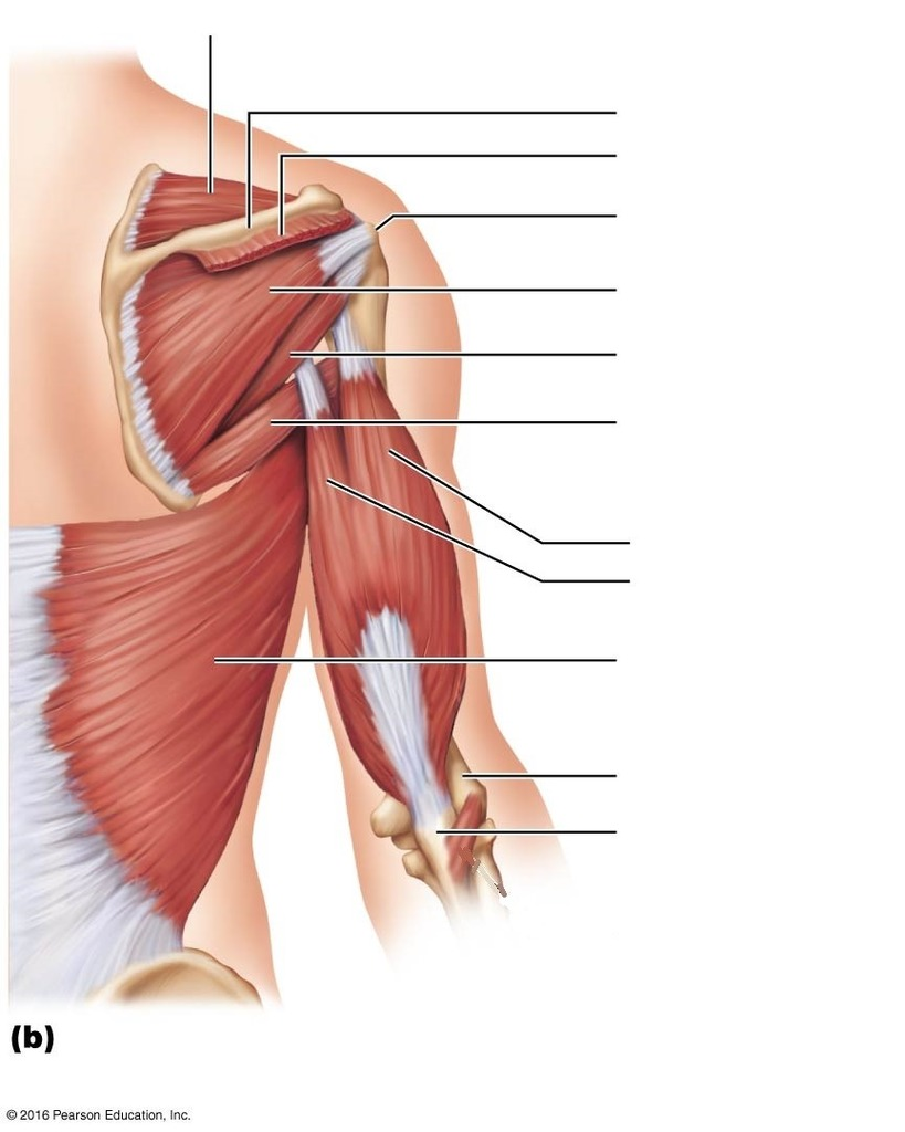 medium resolution of terms in this set 6 latissimus dorsi muscle