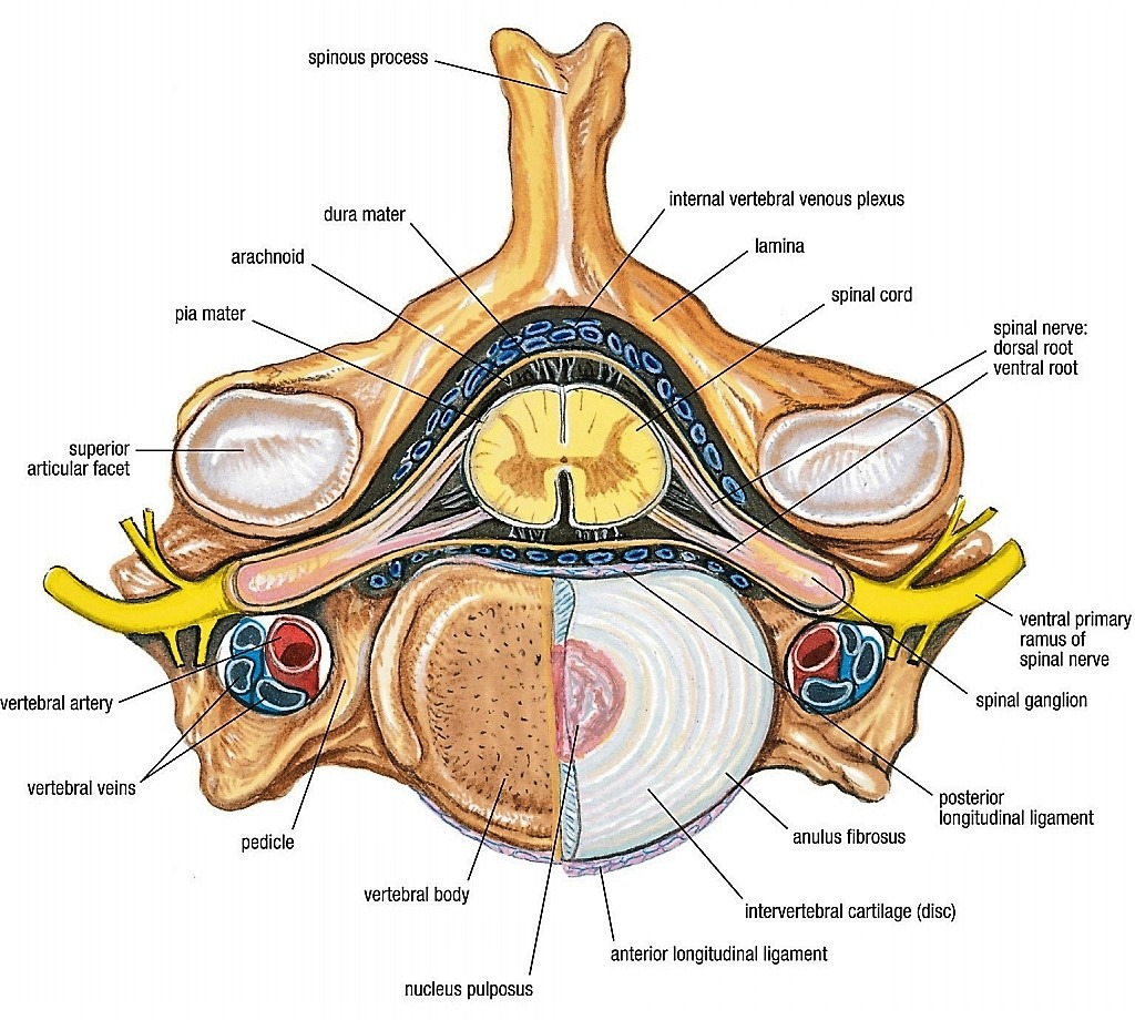 hight resolution of grant u0027s anatomy w2 vertebral canal spinal cord and meninges