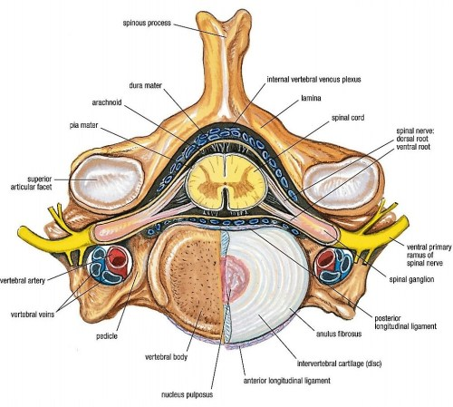 small resolution of grant u0027s anatomy w2 vertebral canal spinal cord and meninges