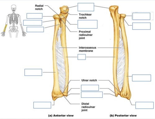 small resolution of terms in this set 5 ulna