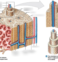 chapter 6 organization of osteons and lamellae in compact bone central canal concentric lamellae lacunae lamellae bone diagram [ 1024 x 768 Pixel ]
