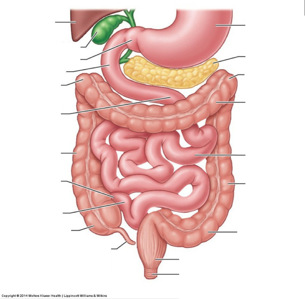 hight resolution of human large intestine diagram