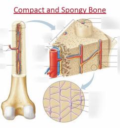 spongy bone diagram [ 1024 x 768 Pixel ]