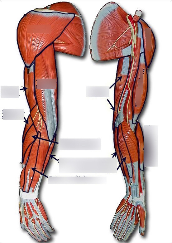 upper arm muscles diagram h7 bulb wiring muscular system quizlet location