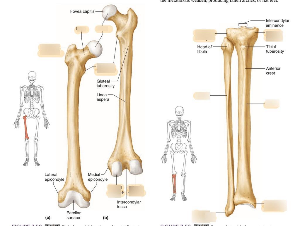 hight resolution of leg bones
