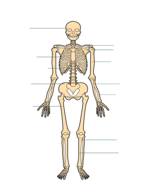 small resolution of torso bone diagram wiring diagram usedbones of the legs u0026 torso diagram quizlet torso bone