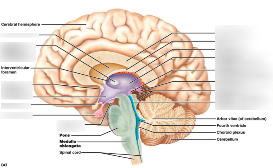 internal brain diagram how to draw sfd and bmd midsaggital cross section quizlet location
