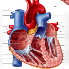 Interior Heart Diagram Wiring For Led Downlights Chambers And Of Lab 2 Quizlet Location